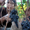 Grape growers are making up for lost time