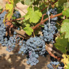 Step-by-step report of O'Vineyards Harvest in the South of France (Languedoc)