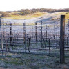 Who would think that an icy cocoon saves grapes from ravages of frost?