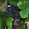 East coast wine grape growers aim to be competitive & profitable