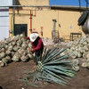 Tequila boom triggers social consequences in Mexico