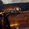 Beer-mating beetle study shortlisted for Ig Nobel Prize