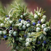 Just the tonic for British gin…juniper berries saved from extinction