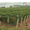 China: A domestic wine industry starts to take root