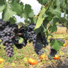 GST (growing season temperature) best measure for viticulturists