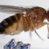Sexually frustrated fruit flies turn to booze