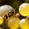 Thank The Simple Wasp For That Complex Glass Of Wine