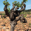 Nutrients In Soil Not The Cause Of Minerality In Wine
