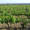 Innovative planting in the vineyard prevents spread of diseases