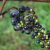 French Wine Outlook Cut on Poor Flowering, Berry Development