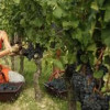 Looking for a job? Oregon wineries face shortage of pickers