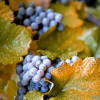 Bad news for Chilean wine; severe frosts = state of emergency