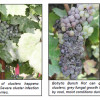 Rotting Grapes From Bordeaux to Burgundy Cut French Wine Outlook