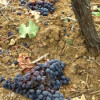 Montalcino Wine Growers Throw Out 50% Of Good Grapes, Here's Why