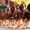 Budweiser Clydesdales Being Ditched For Craft Beer Hipsters