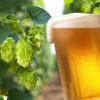 Beer Hops Might Help Prevent Alzheimer's